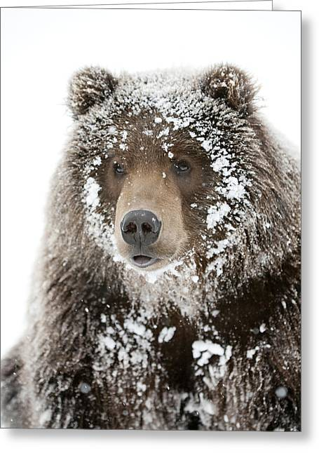 Captive Male Brown Bear With A Frosty Greeting Card by Doug Lindstrand