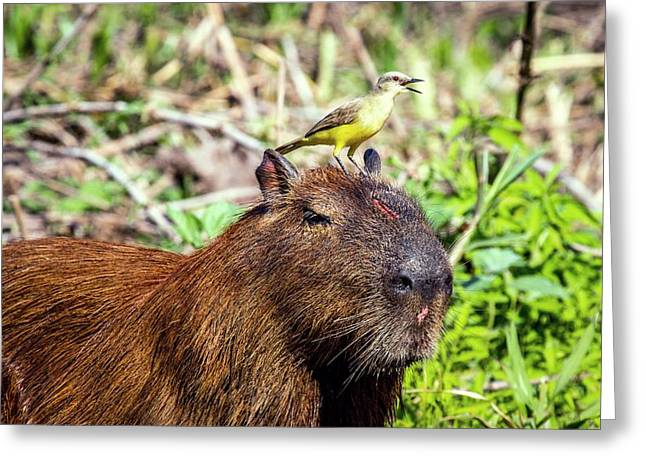Capybara And Cattle Tyrant Greeting Card by Paul Williams