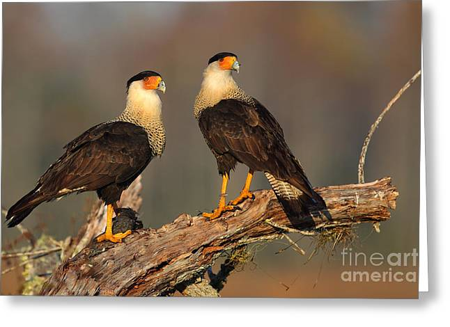 Caracaras Greeting Card by Rick Mann