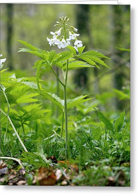 Cardamine Heptaphylla In Flower In A Wood Greeting Card