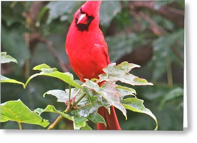 Cardinal 111 Greeting Card by Patsy Pratt