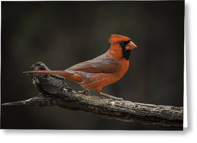 Cardinal 2011-1 Greeting Card