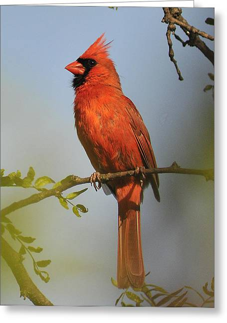 Cardinal 329 Greeting Card