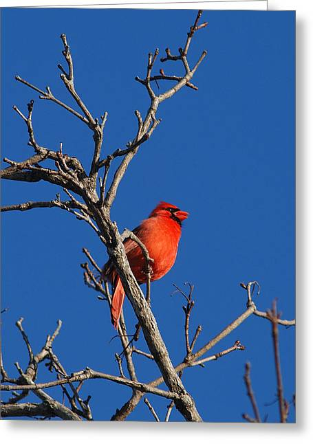 Cardinal And Blue Greeting Card by Janice Adomeit