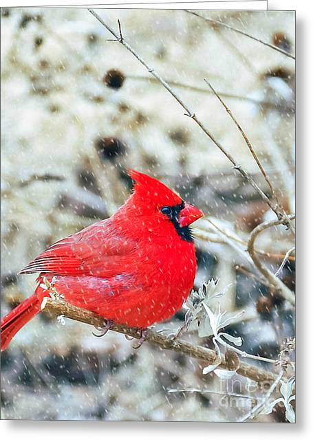 Cardinal Bird Christmas Card Greeting Card