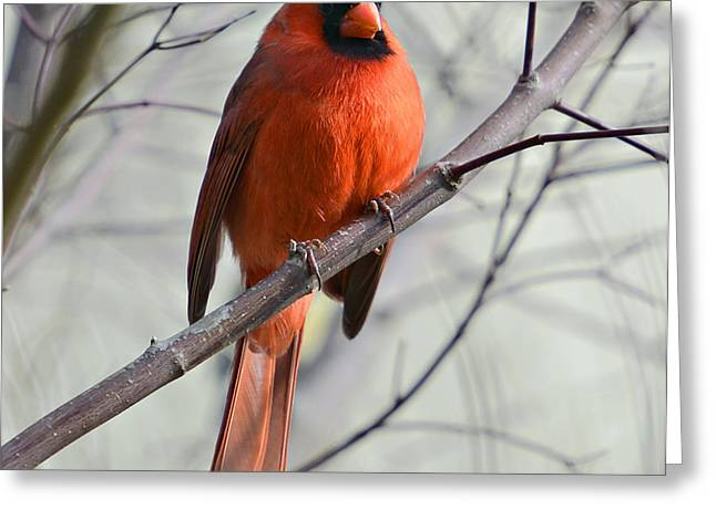 Cardinal In A Tree Greeting Card by Susan Leggett