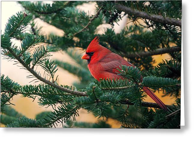Cardinal In Balsam Greeting Card