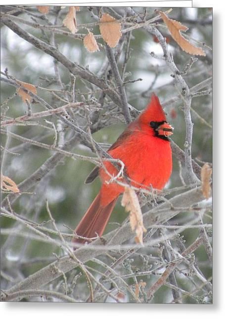 Cardinal In December Greeting Card
