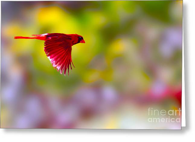 Cardinal In Flight Greeting Card by Dan Friend