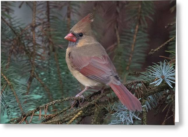 Cardinal In Spruce Greeting Card by John Kunze
