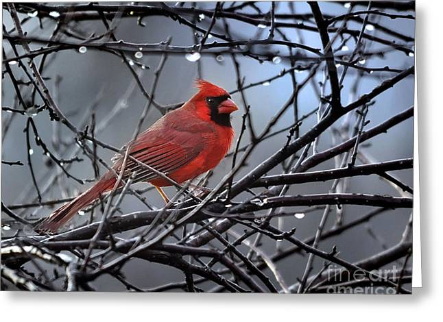 Cardinal In The Rain   Greeting Card by Nava Thompson