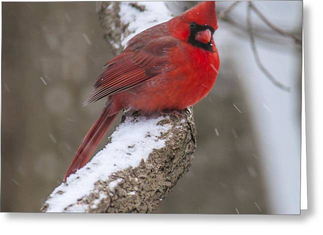 Cardinal In The Snow Greeting Card