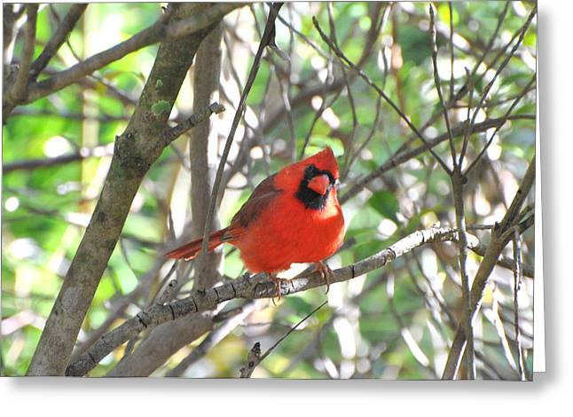 Greeting Card featuring the photograph Cardinal In Tree by Jodi Terracina
