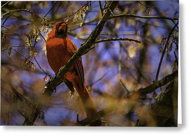 Cardinal In Waiting Greeting Card by Barry Jones
