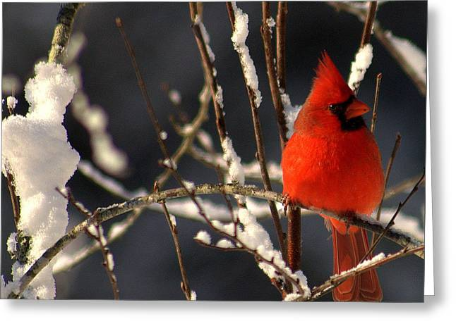 Greeting Card featuring the photograph Cardinal In Winter 2 by John Harding