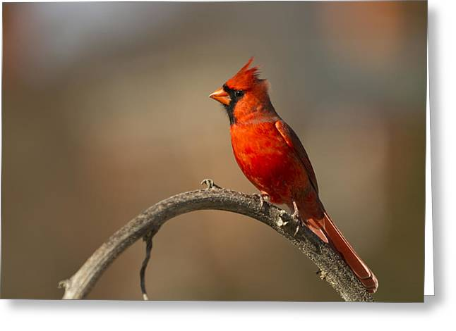 Greeting Card featuring the photograph Cardinal by Jerry Gammon