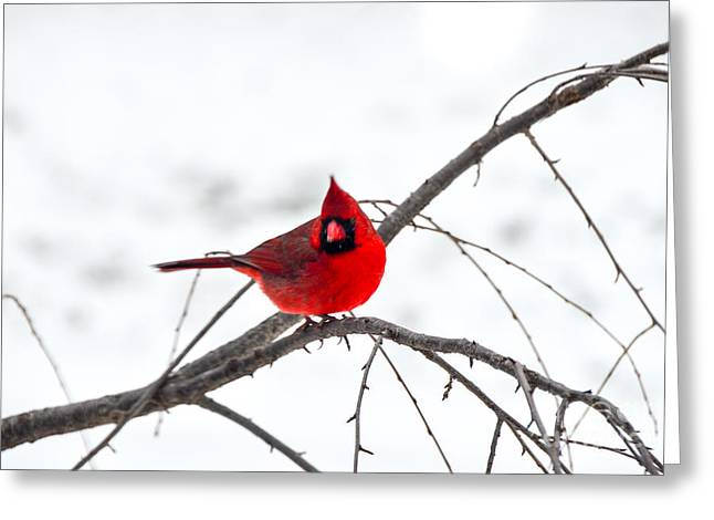Cardinal On A Branch  Greeting Card by Mary Carol Story