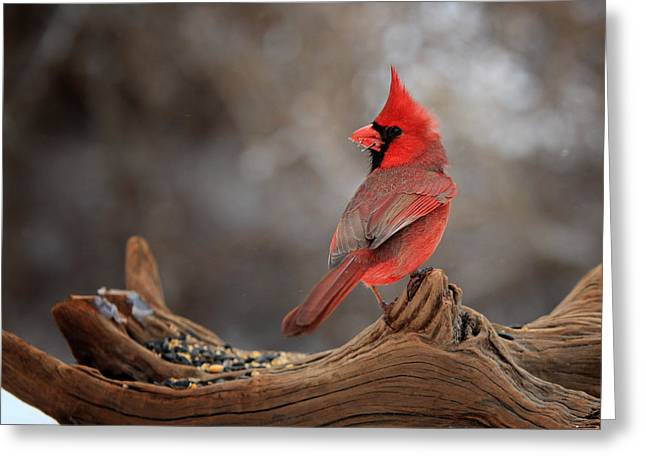 Cardinal On A Log Greeting Card by Bill Wakeley