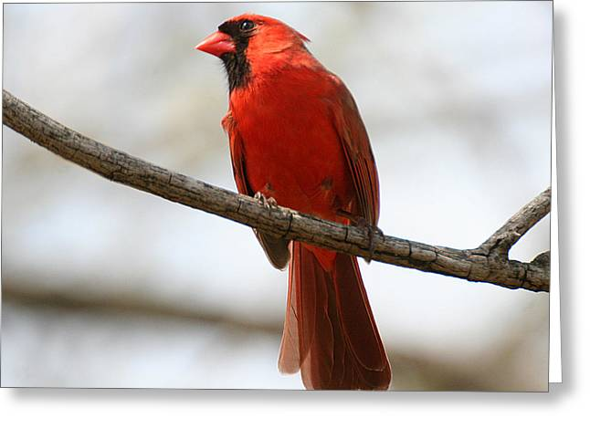 Cardinal On Branch Greeting Card