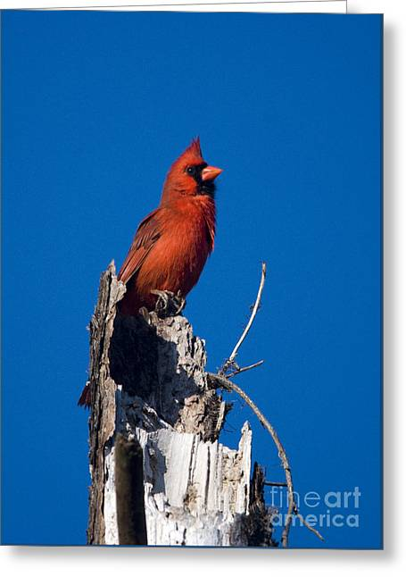 Cardinal On Honeymoon Island Greeting Card