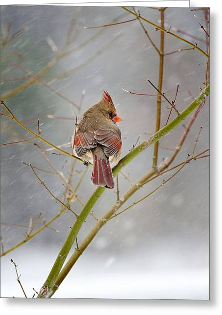 Cardinal On Maple Tree Greeting Card