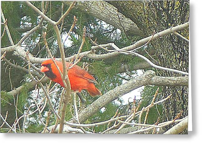 Cardinal Red Greeting Card