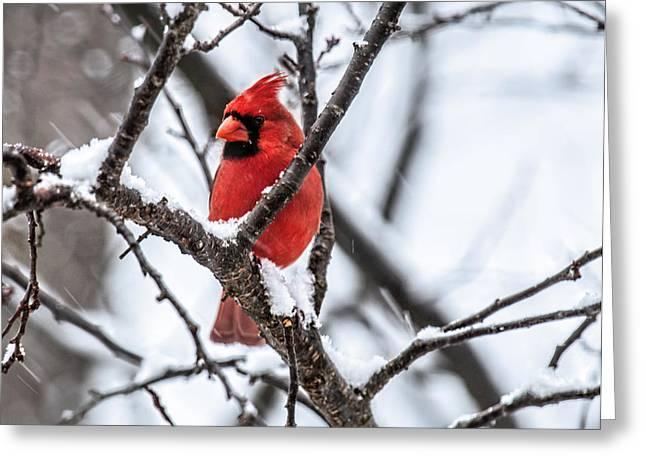 Cardinal Snow Scene Greeting Card