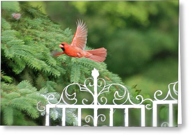 Greeting Card featuring the photograph Cardinal Time To Soar by Thomas Woolworth