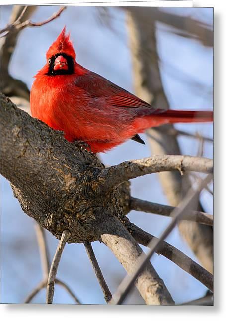 Cardinal Up Close Greeting Card