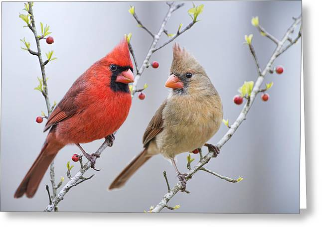 Cardinals In Early Spring Greeting Card