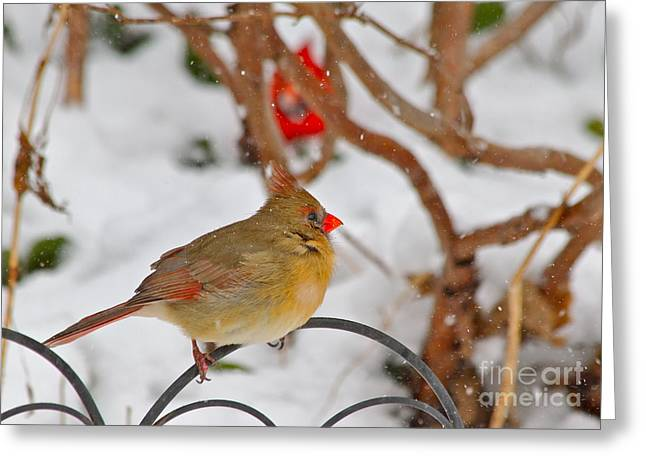 Cardinals  Greeting Card by Jay Nodianos