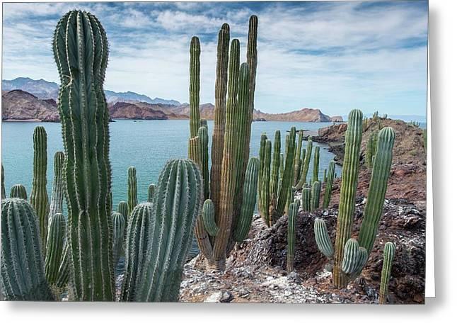 Cardon Cacti (pachycereus Pringlei) Greeting Card