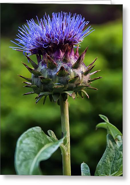 Cardoon Greeting Card by Chris Flees