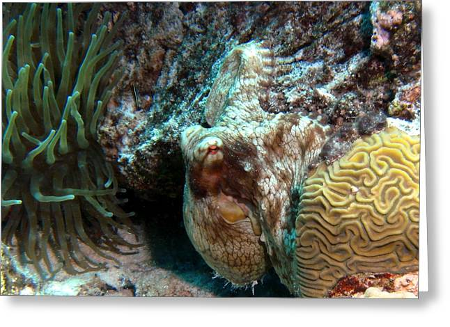 Caribbean Reef Octopus Next To Green Anemone Greeting Card by Amy McDaniel