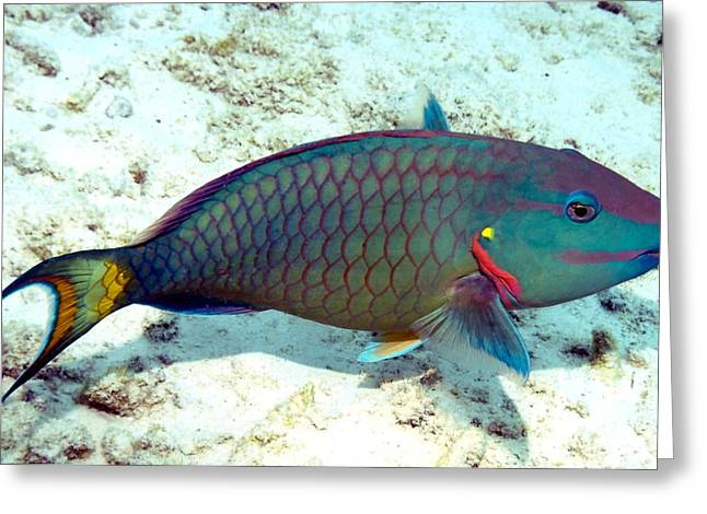 Greeting Card featuring the photograph Caribbean Stoplight Parrot Fish In Rainbow Colors by Amy McDaniel