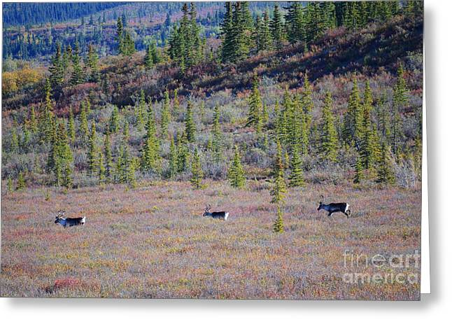 Greeting Card featuring the photograph Caribou In Alaska by Kate Avery