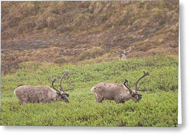 Caribou In The Rain Greeting Card