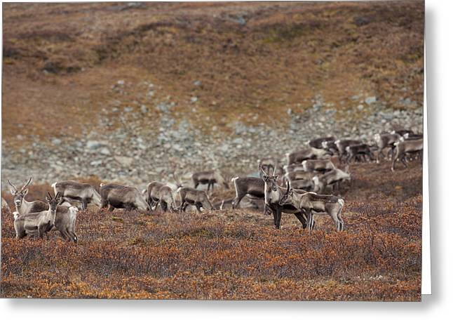 Caribou On The Tundra Greeting Card