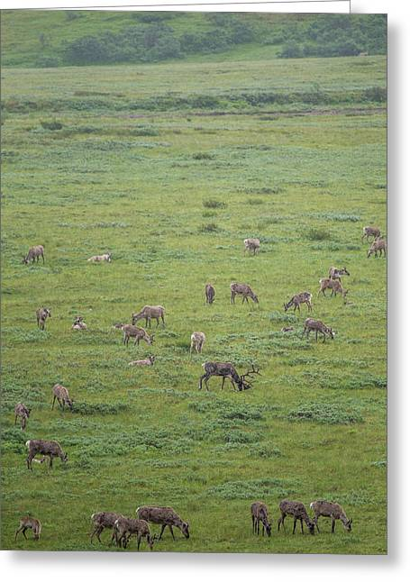 Caribou, Rangifer Tarandus, Graze Greeting Card
