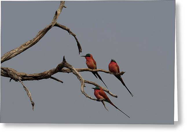 Carmine Bee-eaters Merops Nubicoides Greeting Card