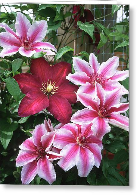 Carnaby And Niobe Clematis On Trellis Greeting Card by Richard and Susan Day