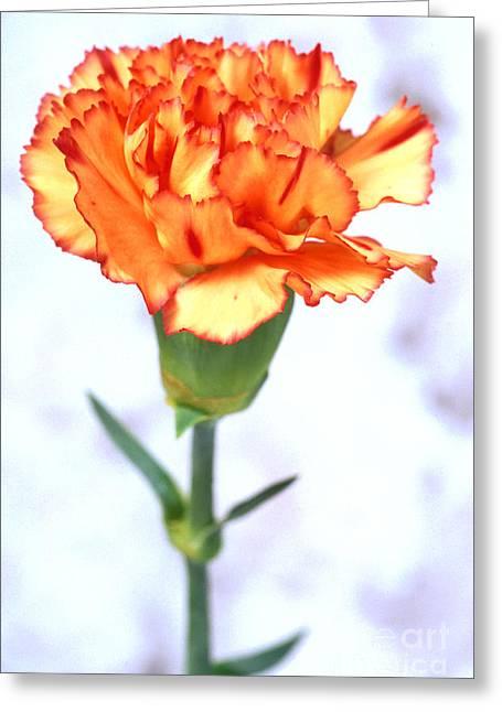 Carnation Greeting Card by Carl Perkins
