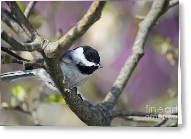 Carolina Chickadee - D008966 Greeting Card by Daniel Dempster