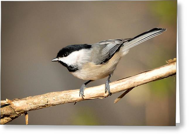 Greeting Card featuring the photograph Carolina Chickadee  by Kerri Farley