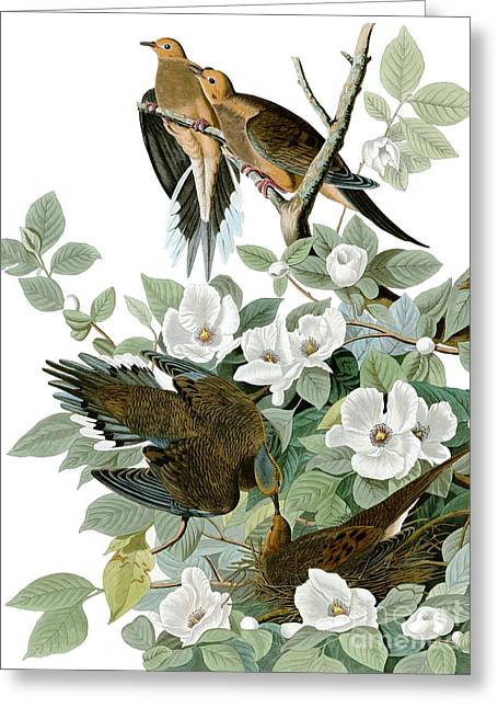Carolina Pigeon Greeting Card by Celestial Images