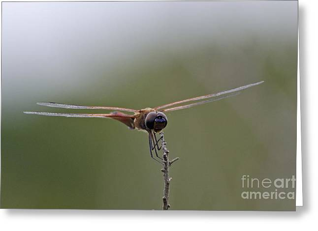 Carolina Saddlebags Dragonfly Greeting Card by Mark Newman