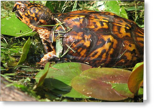 Carolina The Box Turtle In Pond Greeting Card by Cleaster Cotton
