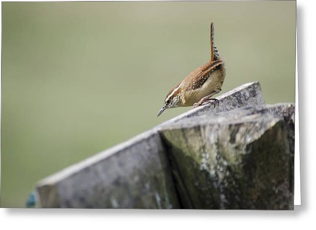 Carolina Wren Two Greeting Card by Heather Applegate