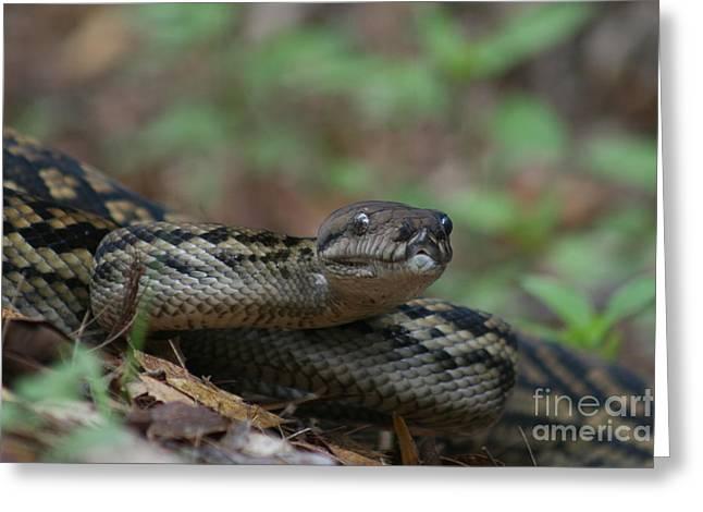 Carpet Snake Greeting Card by J Cooper