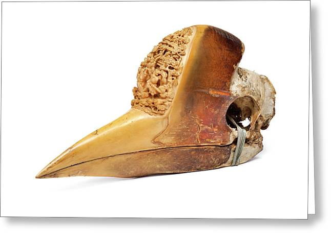 Carved Hornbill Skull Greeting Card